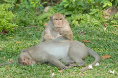 Two monkey on grass. Royalty Free Stock Photography