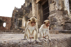 Two monkey and old building Stock Image