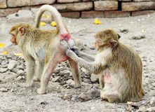 Two monkey resting Royalty Free Stock Photos