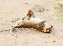 Two monkey resting Royalty Free Stock Photography
