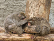Two monkey sitting on the log Stock Photography