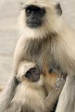 Two Monkeys. At a temple in India Royalty Free Stock Image