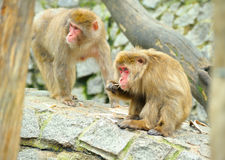 Two monkeys Royalty Free Stock Image