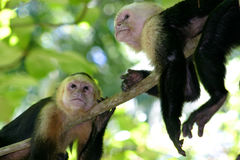 Two monkeys. On a tree stock photography