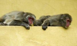 Two monkeys-2. Two monkeys relaxing stock photo