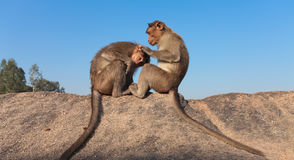 Two monkeys. Sitting on a rock plucking flees Royalty Free Stock Photo
