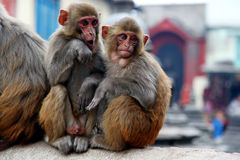 Two monkeys. Two monkey sitting near the temple. Nepal Royalty Free Stock Photos