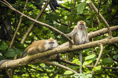 Two monkeys. In the wild sitting on a branch Royalty Free Stock Images