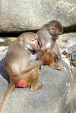 Two monkeys. Sitting on the rock Stock Photography