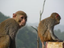 Two monkeys. Are asking food to people and it is so funny royalty free stock image