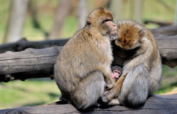 Two monkeys with baby. Portrait of two monkeys cuddling small baby Stock Photos