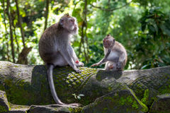 Two monkeys in Bali Ubud forest Stock Photo