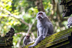 Two monkeys in Bali Ubud forest Stock Photos