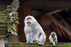 Two monkeys in Bali Ubud forest Royalty Free Stock Photos