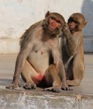 Two Monkeys at Chitrakoot, MP, India Stock Photo