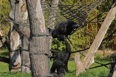 Two monkeys climbing and having fun in branches in zoo in leizig in germany. In summer royalty free stock photography