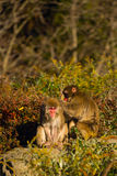 Two monkeys combed each other's backs Stock Photography