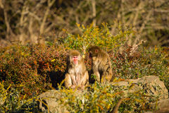 Two monkeys combed each other's backs Royalty Free Stock Images