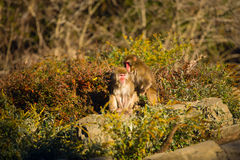 Two monkeys combed each other's backs Royalty Free Stock Photo