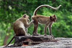 Two monkeys cute. royalty free stock images