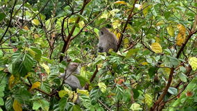 Two monkeys eating fruit on the tree. Two small monkeys eating fruit on the tree stock video