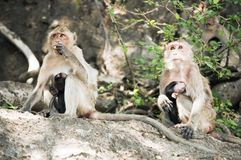 Two monkeys feeding theirs babies. Two monkeys breast-feeding theirs babies. Prachuab Khiri Khan - Thailand Stock Photo