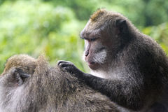 Two monkeys in forest in Bali. One grooming the other Royalty Free Stock Images