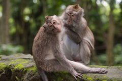 Two monkeys in the forest near Ubud, Bali Royalty Free Stock Images