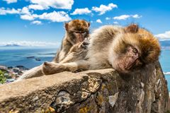 Two macaque monkeys preening in Gibraltar