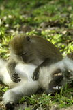 Two monkeys grooming Royalty Free Stock Photography