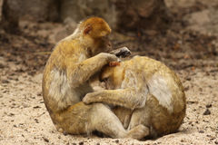 Two monkeys grooming each other Stock Image
