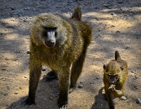 Two monkeys. On ground hanging out Stock Photo