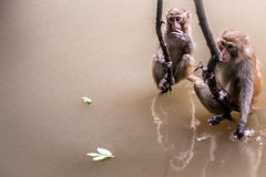 Two monkeys hanging out. Two wild monkeys hanging out over the water in Hunan province China Stock Image