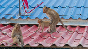 Two monkeys having sex while another monkey sit sadly turned back on them Royalty Free Stock Image