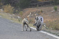 Two monkeys on a highway Stock Photos