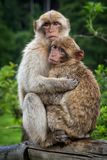 Two monkeys hugging each other royalty free stock photo