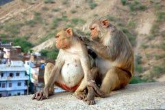 Two monkeys in Jaipur Stock Images