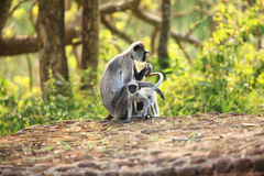 Two monkeys in the living nature. Sri Lanka Royalty Free Stock Images