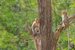 Two monkeys with long tails sitting on different tree branch in Royalty Free Stock Photography