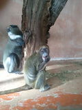 Two monkeys. Are looking and eating at a tree Stock Photography
