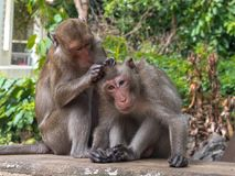 Two monkeys are looking for a tick. Monkey monitors fleas and ticks to each other Royalty Free Stock Images