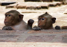 Two Monkeys in Lopburi Thailand Stock Image