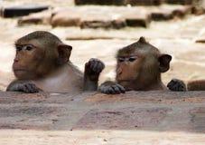 Two Monkeys in Lopburi Thailand stock image