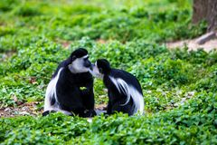 Two monkeys in love give a kiss stock images