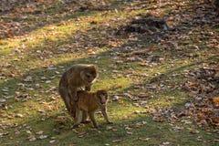 Two monkeys Macaca Sylvanus Royalty Free Stock Photo