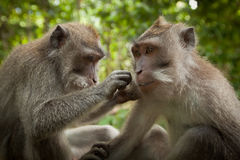 Two monkeys in the monkey forest Royalty Free Stock Photography