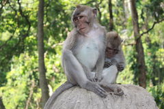 Two Monkeys. In the Monkey Forest - Bali, Indonesia royalty free stock image