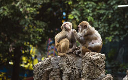 Two monkeys. Royalty Free Stock Image