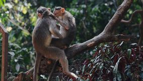 Two monkeys picking fleas sitting on a tree. Monkey family in the jungle stock video