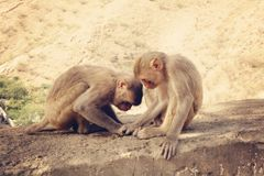 Two monkeys playing Royalty Free Stock Image